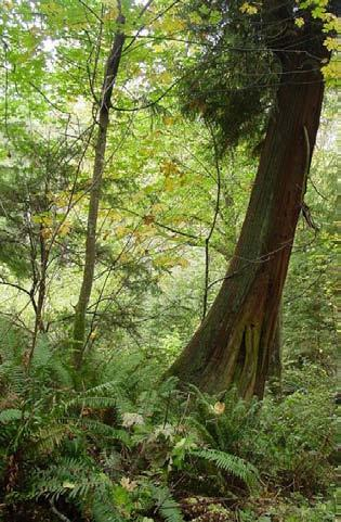 A small patch of remaining old growth in West Seattle. Photo by Robert Fuerstenberg.