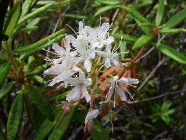 Labrador tea, which grows in boggy areas. Plant assemblages that grow in bogs are found nowhere else. Photo by Jennifer Vanderhoof.