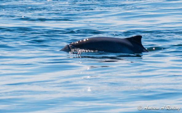 Harbor porpoise from Lime Kiln Point Lighthouse, Lime Kiln Point State Park, San Juan Island, WA. (CC BY-NC-ND 2.0) https://www.flickr.com/photos/seaotter/14506176854/