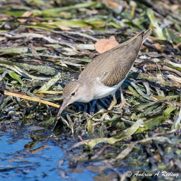 Spotted sandpiper on eelgrass. Semiahmoo Spit, Blaine, WA. Photo: Andrew Reding (CC BY-NC-ND 2.0) https://www.flickr.com/photos/seaotter/8084514888