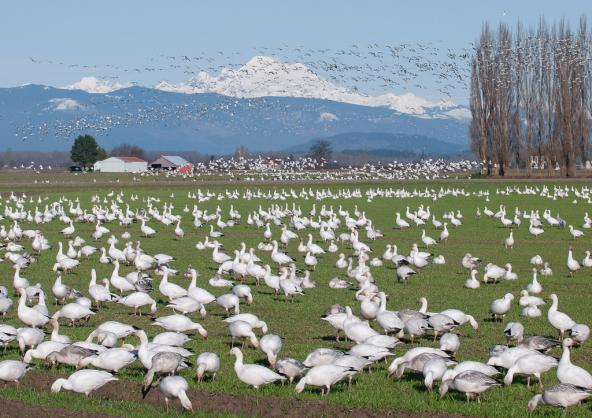 Snow geese on Fir Island. Photo: Ingrid Taylar (CC BY 2.0)