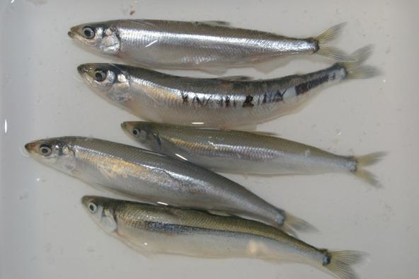 Surf smelt collected as part of a study of rhinoceros auklet diet and forage fish on the outer coast and inland waters of Washington. Photo: NOAA Fisheries West Coast (CC BY-NC-ND 2.0) https://www.flickr.com/photos/nmfs_northwest/9501978375/