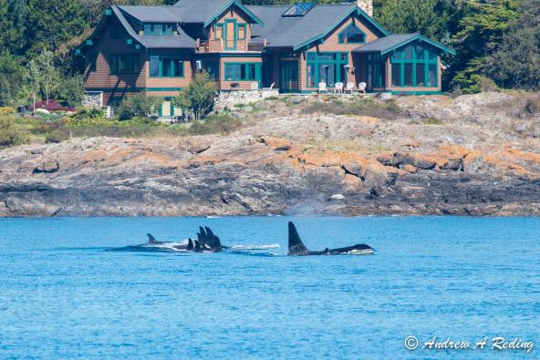Salmon-eating orcas off south shore San Juan Island, male orca K21 Cappuccino in the lead. Photo: Andrew Reding (CC BY-NC-ND 2.0) https://www.flickr.com/photos/seaotter/9726700467