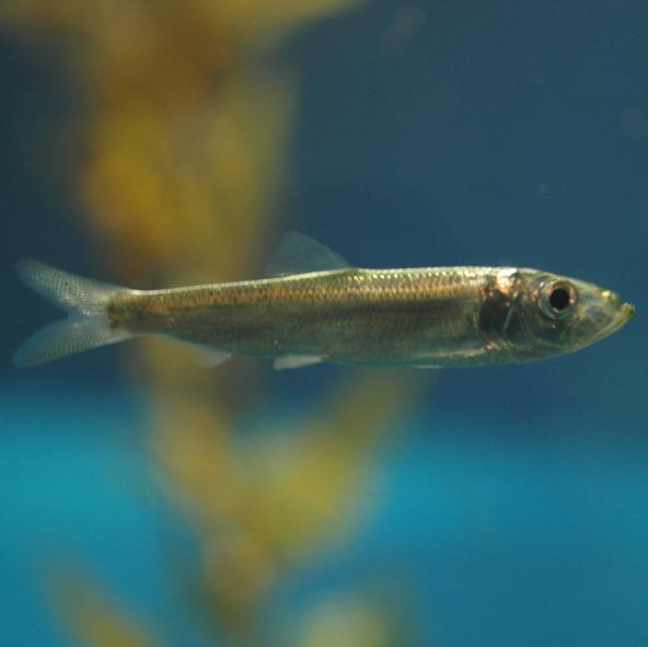 Pacific herring (Clupea pallasii). Photo: Daiju Azuma (CC BY-SA 2.5) https://commons.wikimedia.org/wiki/File:Clupea_pallasii_by_OpenCage.jpg