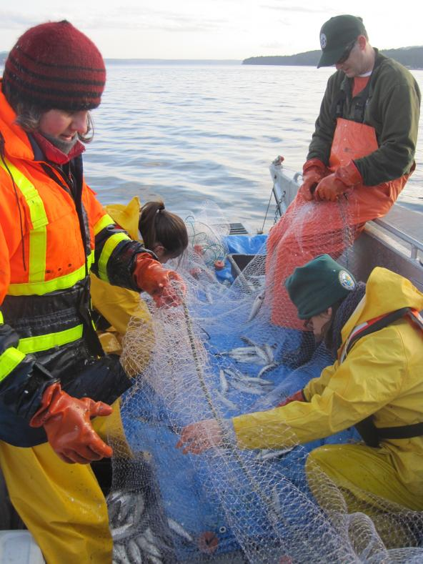 Researchers at WDFW remove Pacific herring from a gill net. Photo: WDFW