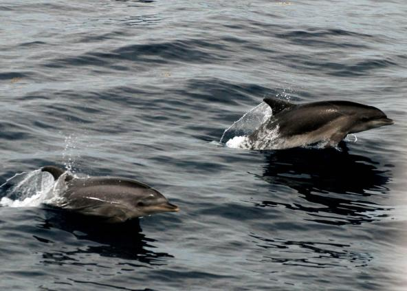 Bottlenose dolphins (Tursiops truncatus) seen from the Henry B. Bigelow. Credit: Allison Henry, NEFSC/NOAA