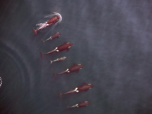 An entire family group of Northern Resident killer whales, known as the I16 matriline, is photographed from a remote-controlled hexacopter, providing information about the whales' physical condition and growth patterns. Photo: NOAA Fisheries, Vancouver Aquarium