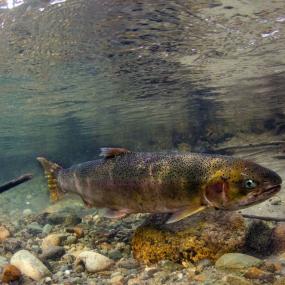 A steelhead (Oncorhynchus mykiss) in the Cascade River, WA, 2014. Photo: © Morgan Bond http://www.morganhbond.com/