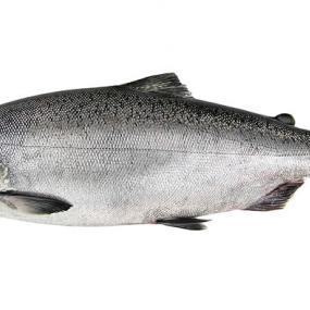 Chinook salmon (Oncorhynchus tshawytscha). Photo: WDFW